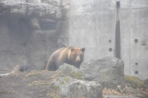 懐かしい写真・・・4月7日 円山動物園 エゾヒグマ とわ?ダイ?