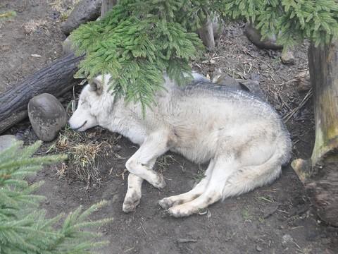 懐かしい写真・・・4月7日 円山動物園 シンリンオオカミ達