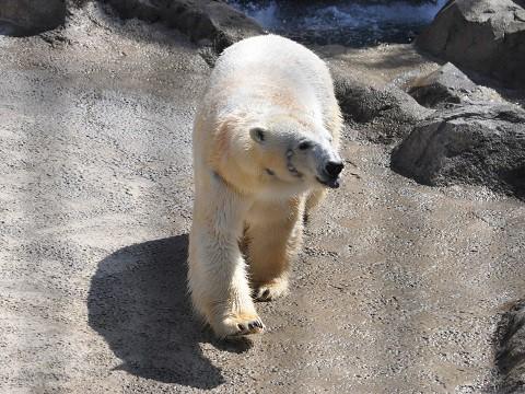 ちょっと懐かしい写真・・・4月29日 旭山動物園 ホッキョクグマ
