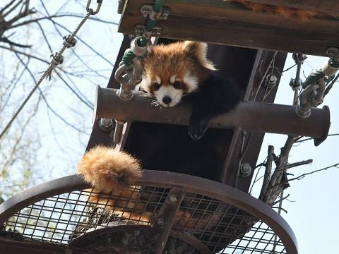 ちょっと懐かしい写真・・・4月29日 旭山動物園 レッサーパンダ