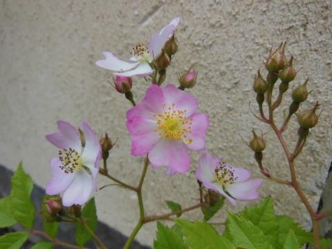 6月22日 我が家のサクラバラの開花状況?
