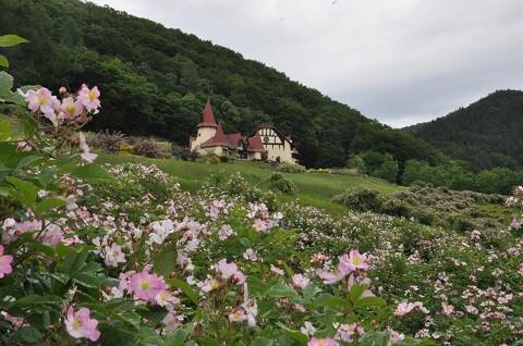 6月26日 滝上町 香りの里ハーブガーデン 今日のサクラバラ