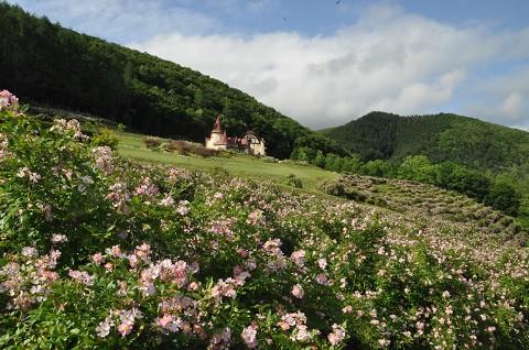 6月28日 滝上町 香りの里ハーブガーデン 今日のサクラバラ