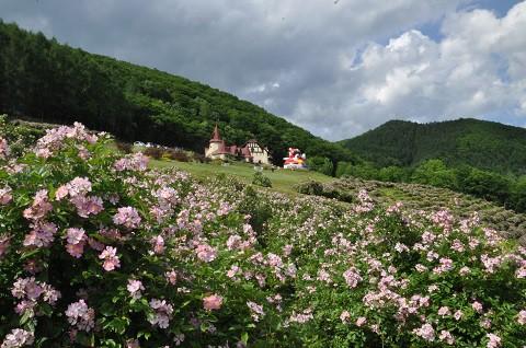 6月30日 滝上町 香りの里ハーブガーデン サクラバラフェア開催中