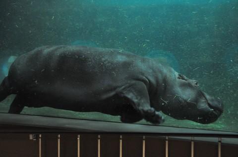 ちょっと懐かしい写真・・・5月29日 旭山動物園 カバ 同居していました