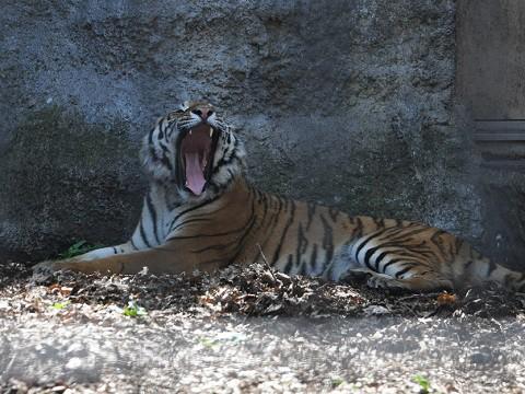 ちょっと懐かしい写真・・・5月29日 旭山動物園 アムールトラ