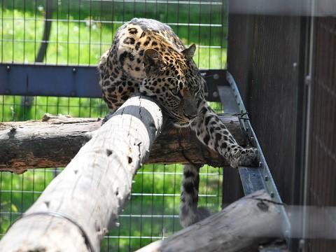 ちょっと懐かしい写真・・・5月29日 旭山動物園 アムールヒョウ