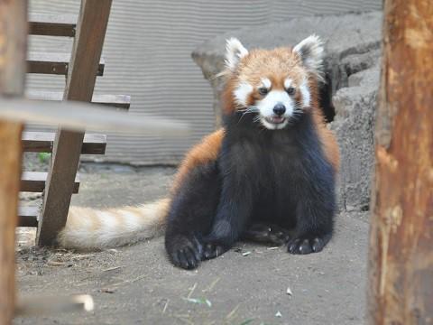 懐かしい写真・・・5月29日 旭山動物園 レッサーパンダ・・・その1