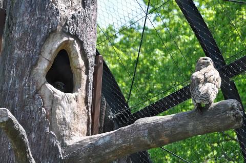 懐かしい写真・・・5月29日 旭山動物園 シマフクロウのヒナ