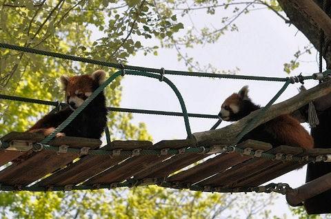 懐かしい写真・・・5月29日 旭山動物園 レッサーパンダ・・・その2
