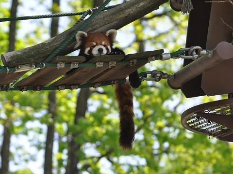 懐かしい写真・・・5月29日 旭山動物園 レッサーパンダ3