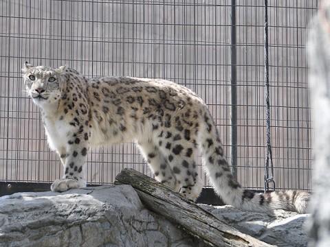 懐かしい写真・・・5月29日 旭山動物園 ユキヒョウ