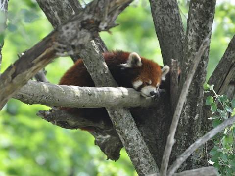 懐かしい写真・・・6月24日 旭山動物園 レッサーパンダ1