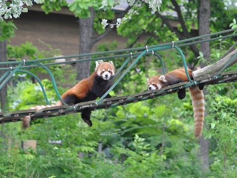 懐かしい写真・・・6月24日 旭山動物園 レッサーパンダ2