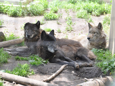 懐かしい写真・・・6月24日 旭山動物園 シンリンオオカミ