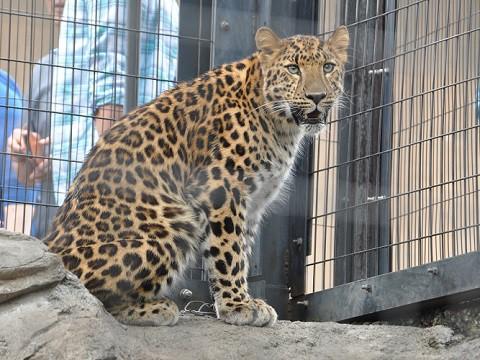 懐かしい写真・・・6月24日 旭山動物園 もうじゅう館のネコたち