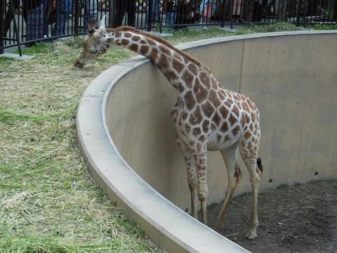 懐かしい写真・・・6月24日 旭山動物園 アミメキリン