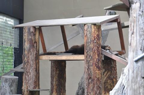 懐かしい写真・・・7月12日 旭山動物園 レッサーパンダたちの午後