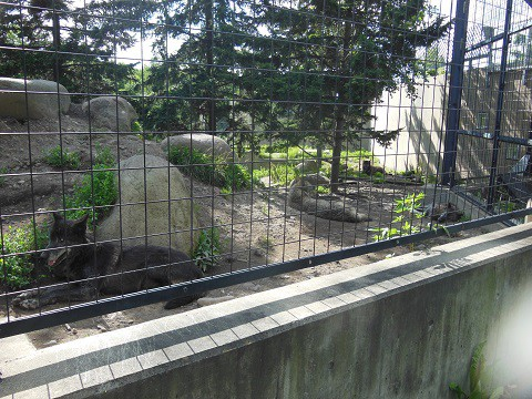 懐かしい写真・・・7月12日 旭山動物園 シンリンオオカミ