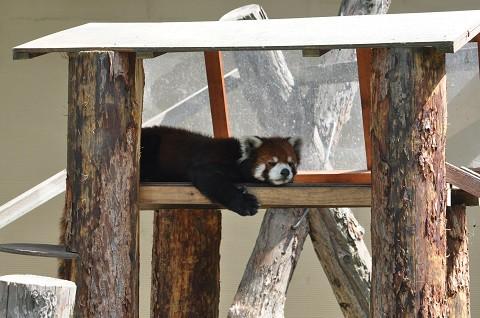 懐かしい写真・・・2018年7月24日 旭山動物園 レッサーパンダ1