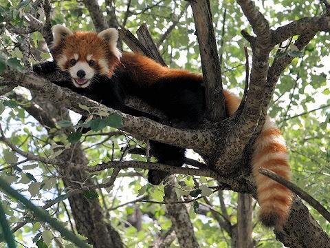 懐かしい写真・・・2018年7月24日 旭山動物園 レッサーパンダ2