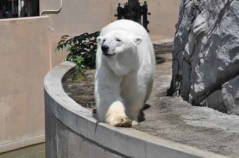 懐かしい写真・・・2018年7月24日 旭山動物園 ホッキョクグマ