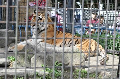 2018年9月 道外旅行3日目 茶臼山動物園 アムールトラとライオン