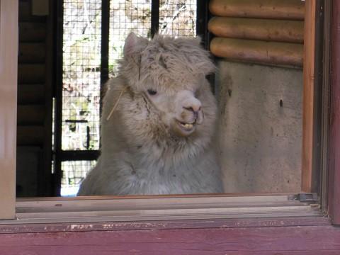 2018年9月 道外旅行3日目 茶臼山動物園 アルパカ親子