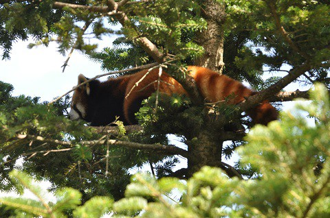 2018年9月 道外旅行3日目 茶臼山動物園 レッサーパンダ