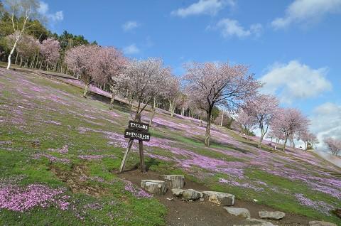 5月8日 滝上町 今日の芝ざくら滝上公園2019・・・5