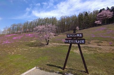5月7日 滝上町 今日の芝ざくら滝上公園2021・・・1
