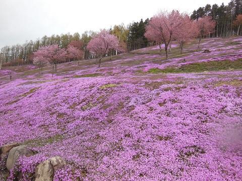 5月10日 滝上町 芝ざくら滝上公園2021・・・3