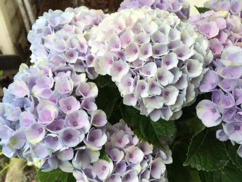 紫陽花マジカル