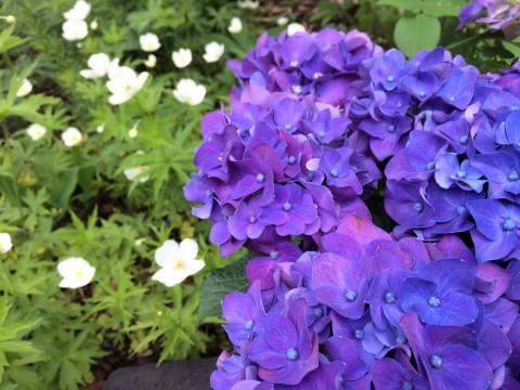 紫陽花 人気です。