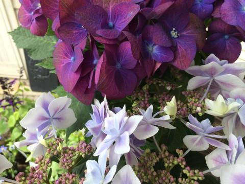 紫陽花や宿根草仕入れました!