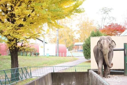 象のナナとイチョウの木