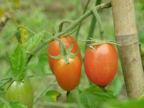 なんとか「ミニトマト」がなりました!今年の畑は・・・。