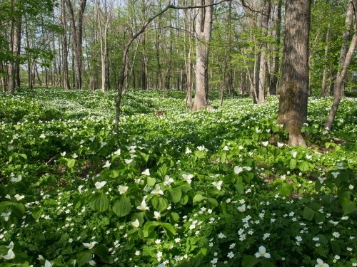 """""""オオバナノエンレイソウ""""の咲き始めた「六花の森」に行ってみました。"""