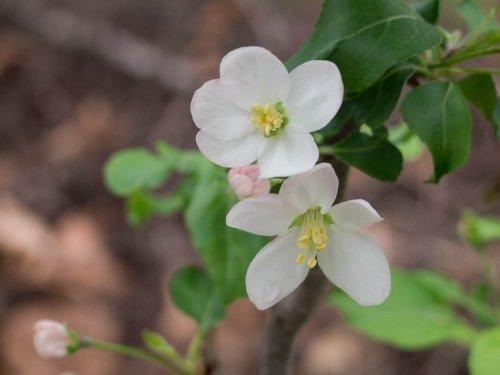 リンゴ(アルプス乙女)の白い花が久しぶりに咲きました。