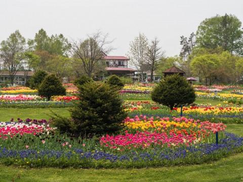 満開のチューリップが魅力的・・「紫竹ガーデン」