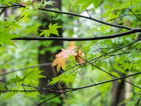 今年の6月は雨続き・・気温も低くてモミジも紅葉!
