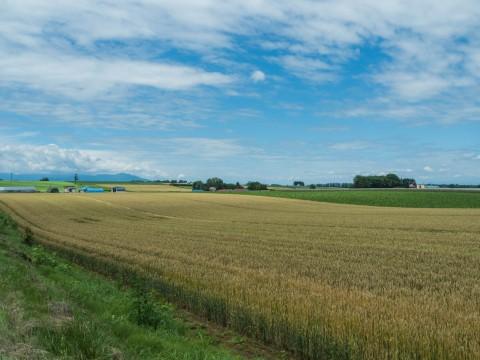 じゃがいもの花咲く・・小麦実る・・7月の農村風景。