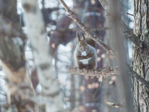 エゾリス君を探せ!~カラマツの木に4匹のエゾリス君がいます~