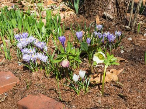 カンタベリーのガーデン・春の花が一気に咲き始めました。