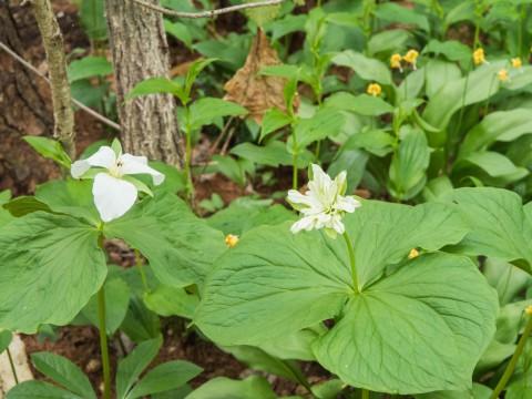 奇形のオオバナノエンレイソウ開花!エゾリス君も4匹全開!