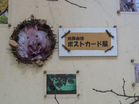 「SatoYukaエゾリス・ポストカード展」森のエゾリス舎で開催中!