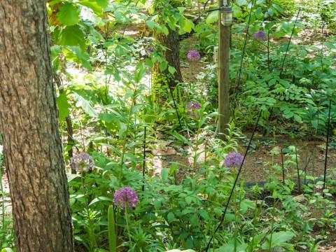 """カンタベリーの宿根草ガーデンは""""アリューム""""が満開に・・"""