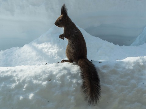 大雪の後は春の陽気。エゾリス君、雪に埋もれたリス小屋に呆然!