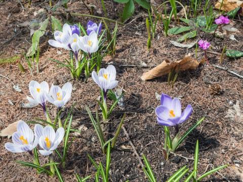雪どけが遅れ・・スノードロップとクロッカスが同時に咲きました。