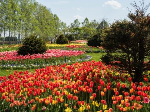 間に合って良かった!「紫竹ガーデン」のチューリップ。